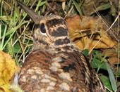 Вальдшнеп- редкая птица в наших краях.