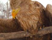 Спасенный орел