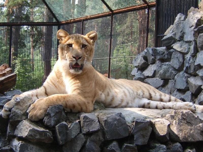 Новосибирский зоопарк. Лигрица Зита. её мать тигрица, а отец лев