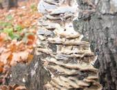 дерево с грибами