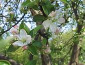 Яблони в цвету, весны творенье