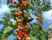 Весенние плоды