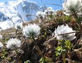 Другой мир, Альпийские розы...