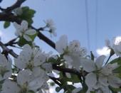 Первые цветы вишни