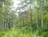 Дорога в сосновом лесу.