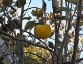 Листочки оспыались, и яблочко приветствует осень в одиночестве.
