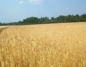 Золотая нива