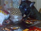 Охотница за ананасом,моя собачка Цефира Луна!