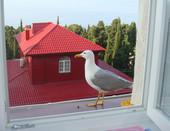 Ручная чайка