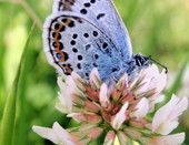Бабочка на клевере.
