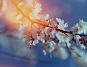 Ветка вишни на пленке