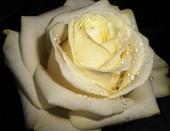 Белая роза- символ чистоты и непорочности...