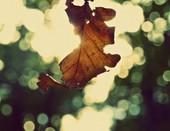 падающий дубовый лист