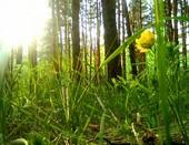 Лесной цветочек..