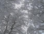 Вы накиньте, дорогие деревья, Оренбургский пуховый платок!